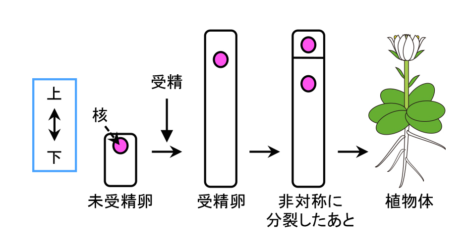 AsymmCD_Figure1_JP.jpg