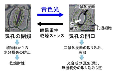 Fig1_Stomata_JP.png