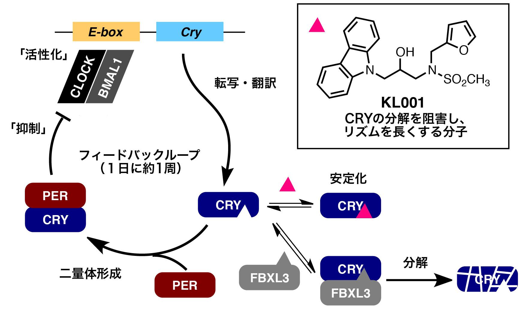 Fig2_Feedbackloop_JP.jpg