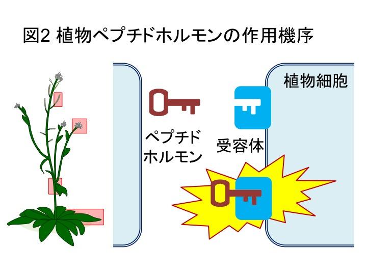 PlantPeptide_Fig2_JP.jpg
